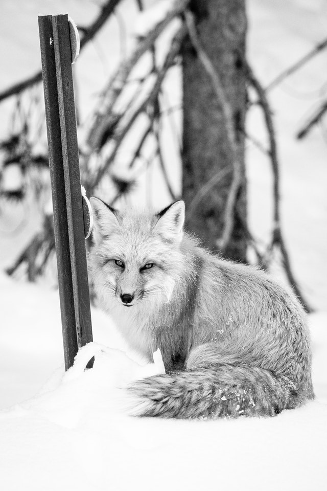 A red fox standing on a snow bank, beside a roadside delineator post, looking towards the camera.