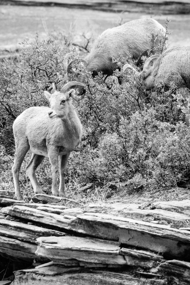 Three desert bighorn sheep eating from a shrub growing on a sandstone hillside.