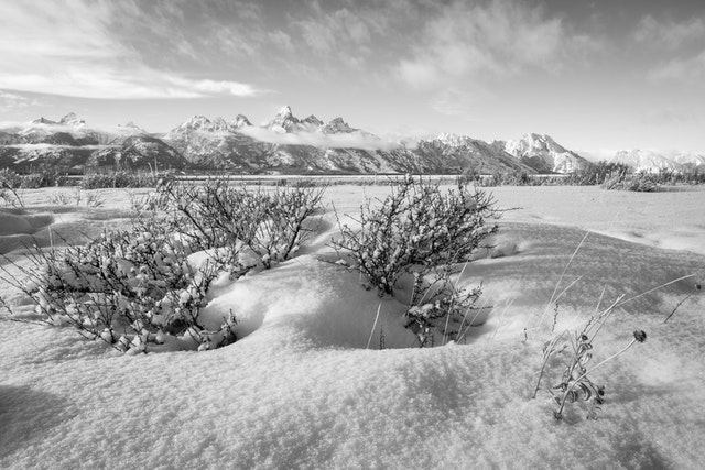The Teton range seen after fresh snowfall from Antelope Flats. In the foreground, a snow-covered bush.