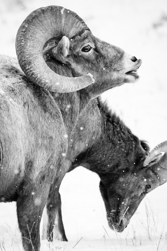Side view of a bighorn sheep doing the flehmen response, at the National Elk Refuge.