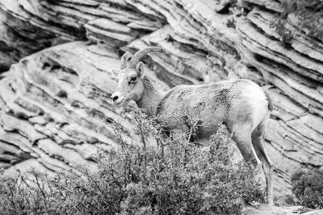 A desert bighorn sheep  standing next to a shrub.
