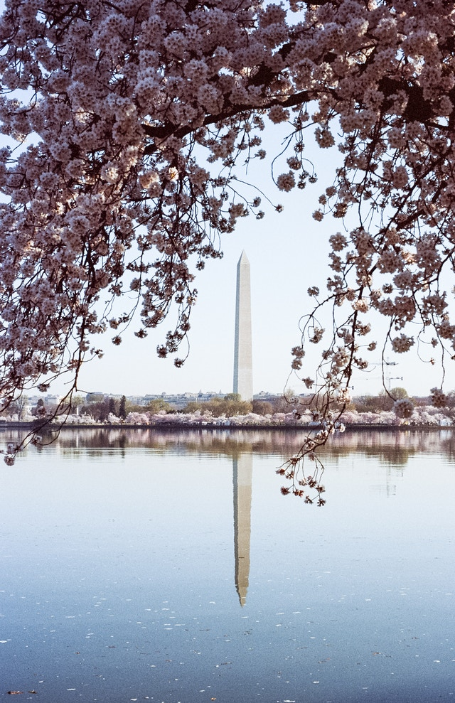 The Washington Monument, framed by cherry blossoms.