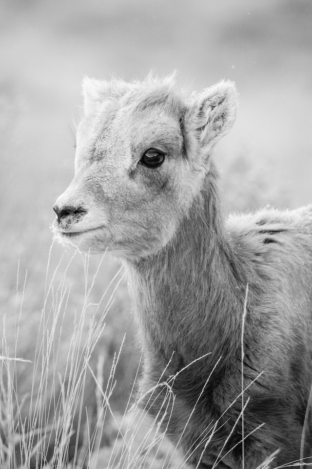 A portrait of a young bighorn ewe.