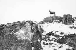 A bighorn sheep walking along the top of a snow-covered ridge at the National Elk Refuge.