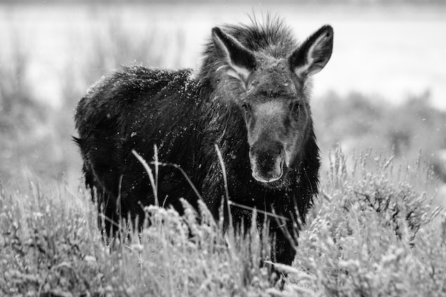 A young moose standing among the sagebrush while it snows lightly, looking towards the camera.