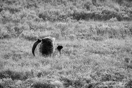 A grizzly sow lying down belly up in the grass. The back of her head and her two back feet can be seen.