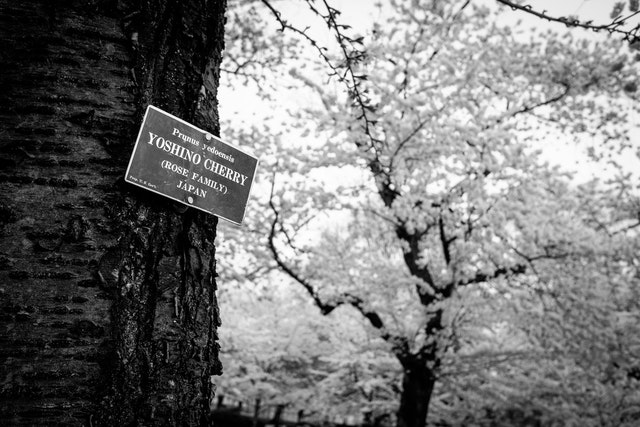 """A sign on a cherry tree at Lower Senate Park that reads """"prunus yedoensis, yoshino cherry (rose family), Japan""""."""