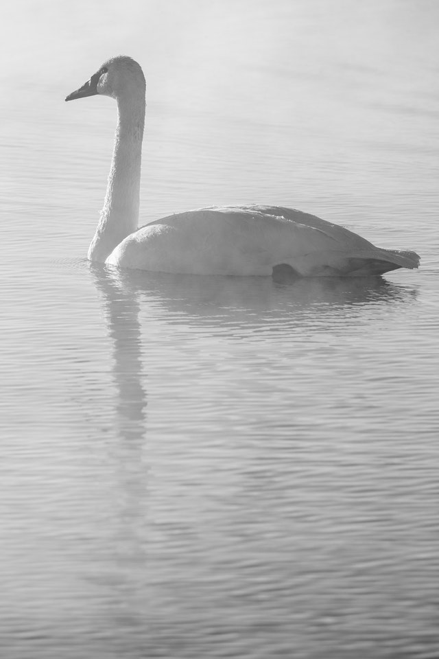 A trumpeter swan swimming on a misty warm spring.