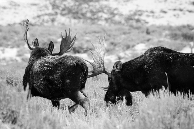 Two bull moose chasing each other off while sparring on Antelope Flats.