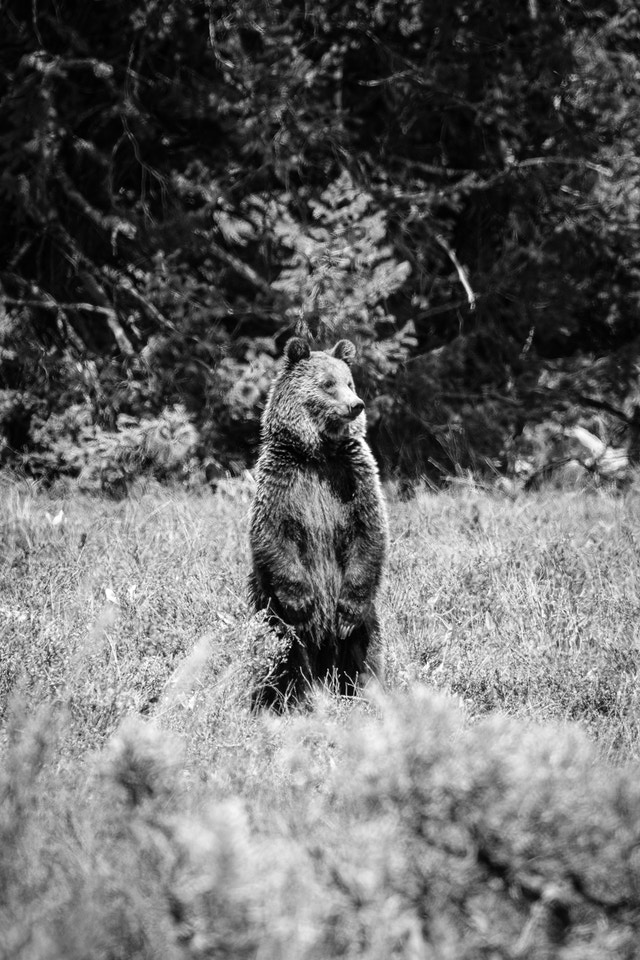 A young grizzly bear standing on its two back legs near Pilgrim Creek Road.
