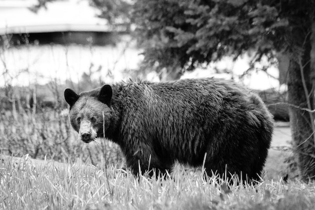 A black bear standing on a grassy knoll, holding a mouthful of grass.