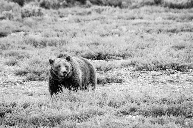 A grizzly sow, standing in an open field.