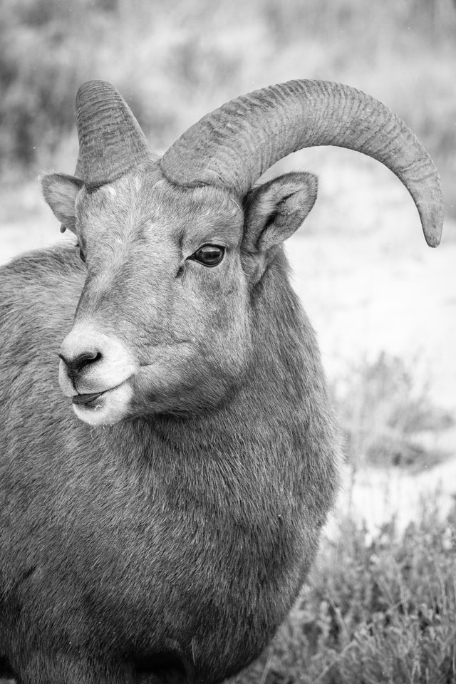 A portrait of a young bighorn ram.