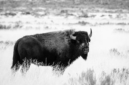 A bison standing in the brush at Antelope Flats and looking back at the camera.