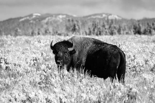 A bison in the brush in Antelope Flats, at Grand Teton National Park.
