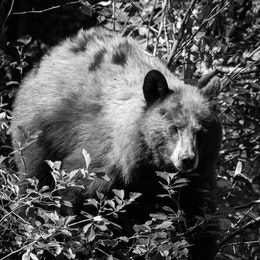 A cinnamon black bear standing on a berry bush, staring directly at the camera.