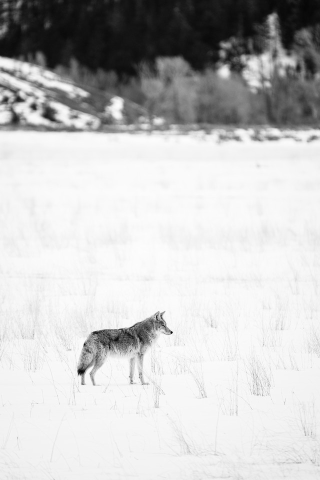 A coyote in a snow-covered field near Kelly, Wyoming.
