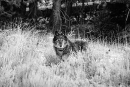 A black and gray wolf wearing a tracking collar, standing among the sage brush.