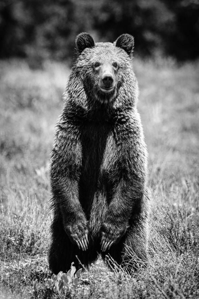 A young grizzly bear standing on its two back legs among the sagebrush.