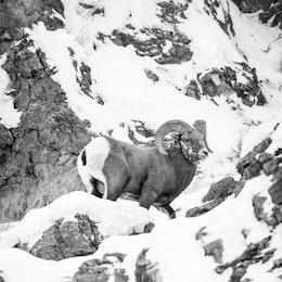 A bighorn sheep ram standing on a snow covered ridge at the National Elk Refuge.