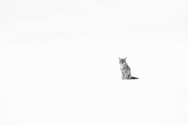 A coyote sitting in the snow near the Gros Ventre road.