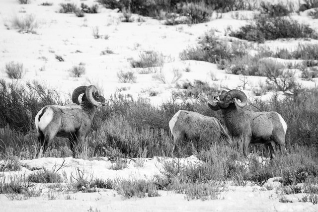 Three bighorn sheep rams posturing on a hillside at the National Elk Refuge.