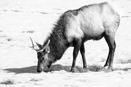 An elk digging for food in the snow, at the National Elk Refuge in Wyoming.