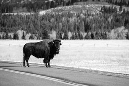 A bison staring at the camera while crossing the road near the Elk Flats Ranch turnout.