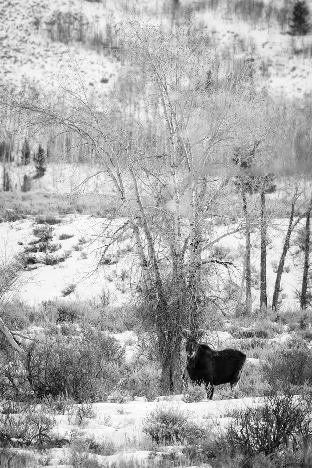 A bull moose standing next to a tree in a snow-covered field.