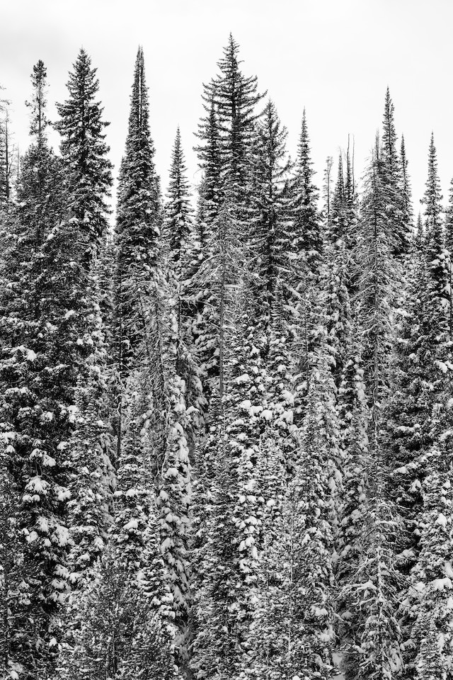 Pine trees covered in snow at Grand Teton National Park.