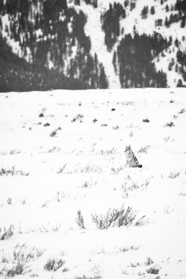 A coyote sitting in the snow-covered flats near the Gros Ventre river.