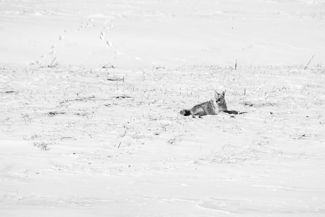 A coyote lying down in the snow at the National Elk Refuge.