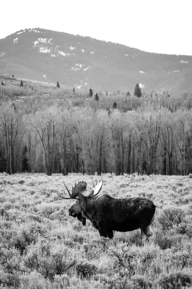 A big bull moose standing in the sage brush near the Gros Ventre campground. In the background, a line of trees, and further back, hills and mountains.