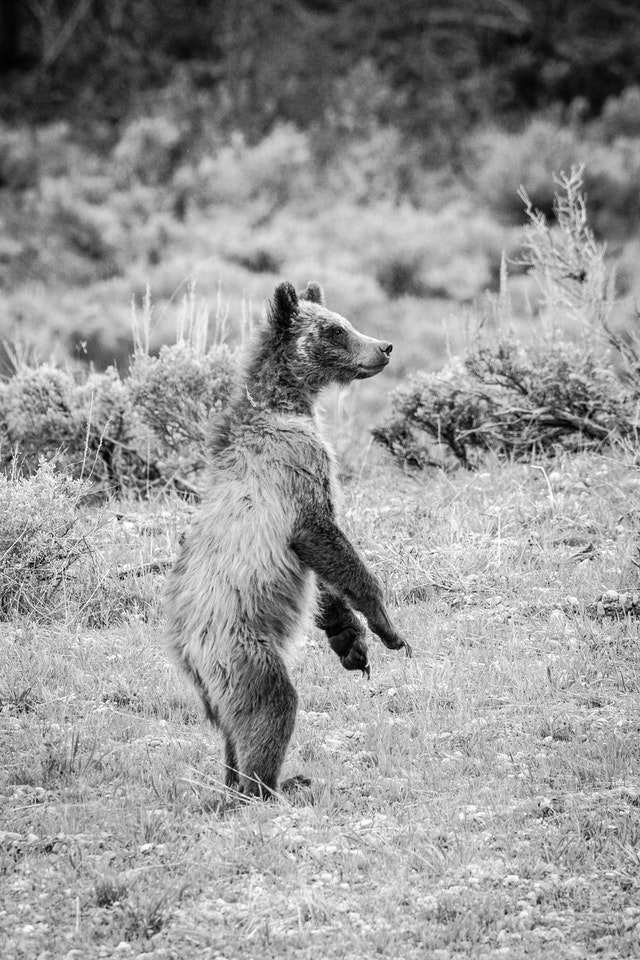 One of 399's cubs, standing on its hind legs among the sagebrush.