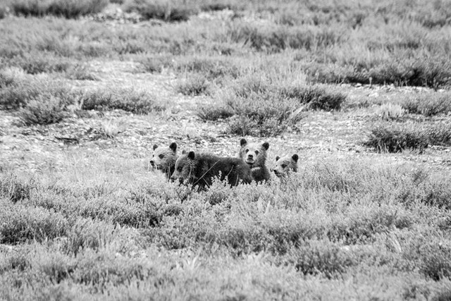 Four grizzly bear cubs sitting behind some sage brush.