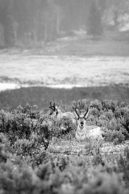 Two pronghorn laying down in the sagebrush while it rains at Lamar Valley. The one in the foreground is looking at the camera while chewing, which makes him look like he's smiling.