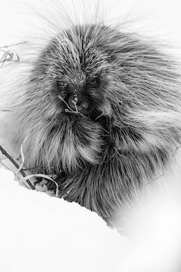 A porcupine eating some buds off a branch in the snow.