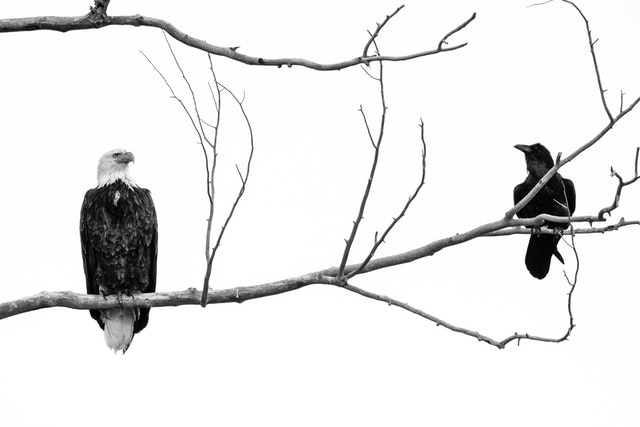 A bald eagle and a raven sharing a branch in a tree at Grand Teton National Park.