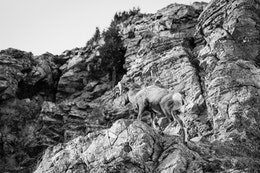 A bighorn sheep ram scrambling on a rock outcropping at Millers Butte in the National Elk Refuge.