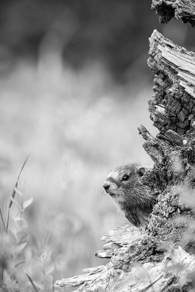 A marmot poking its head from behind a fallen log.