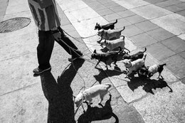 A man walking 8 small dogs on Avenida Juárez, Mexico City.