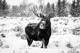A bull moose stepping through deep snow near Moose, Wyoming.