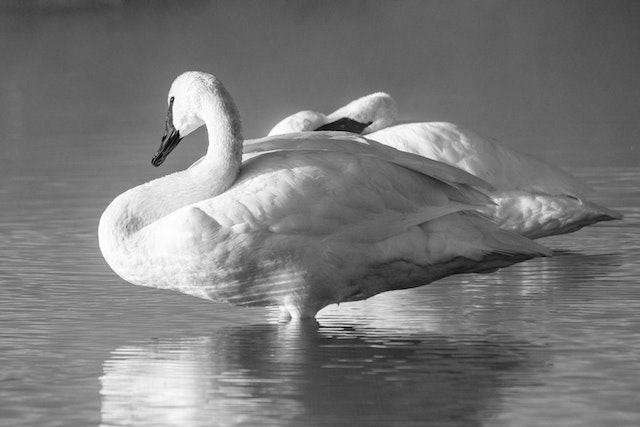 Two trumpeter swan sitting on a misty warm spring.