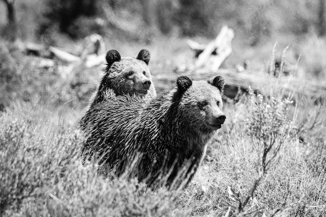 Two young grizzly bear sitting on the sagebrush in front of a fallen tree.