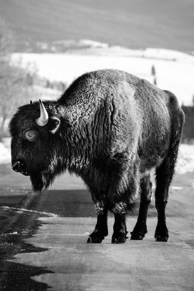 A bison standing on the road at Antelope Flats, looking to his side.