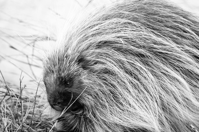 A porcupine eating some grasses near Antelope Flats.