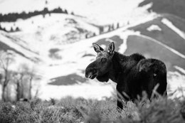A bull moose standing in the sage brush at Grand Teton National Park, and looking towards the camera.