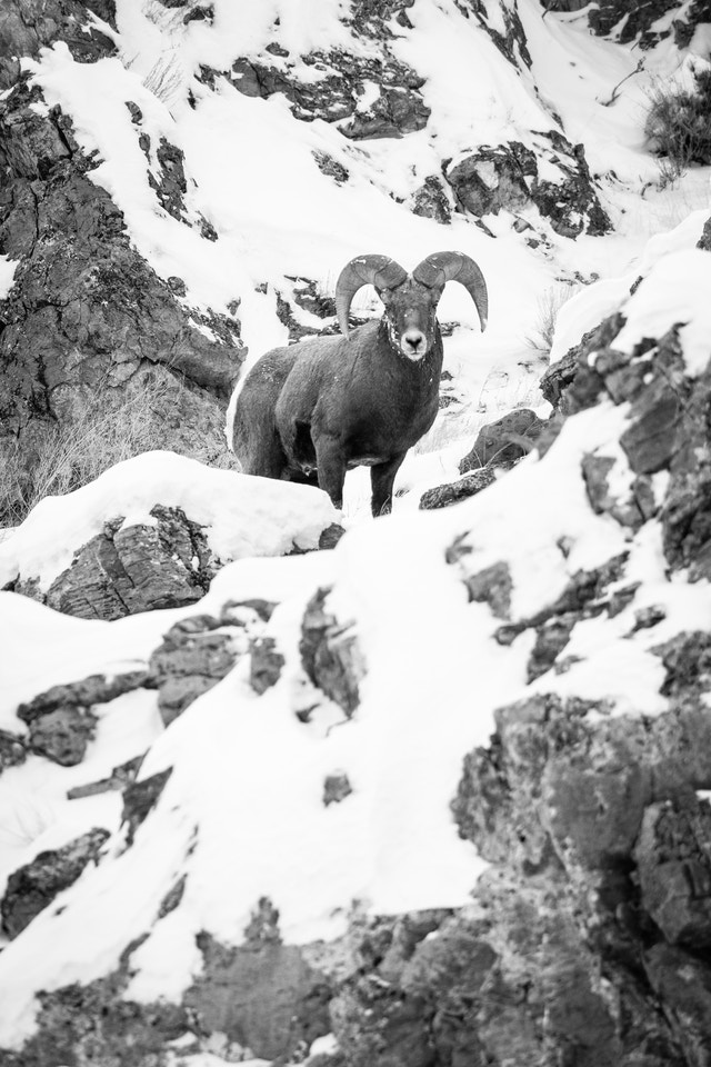 A bighorn sheep ram standing on a snow-covered ridge at the National Elk Refuge, and looking towards the camera.