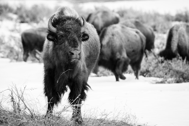 A bison munching on brush near the Kelly Warm Spring.