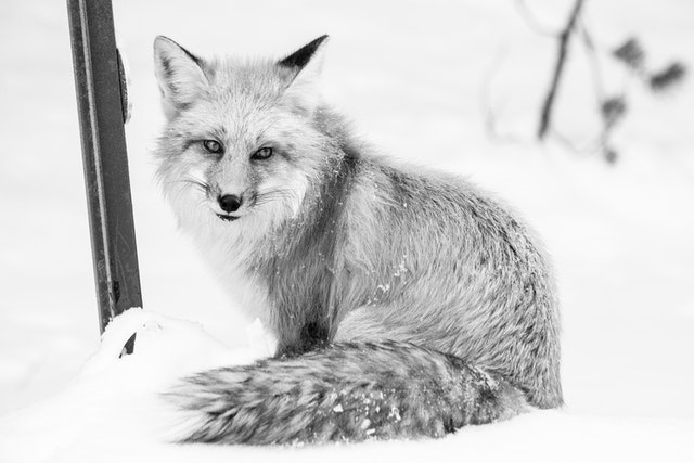A red fox sitting on a snow bank, beside a roadside delineator post, looking towards the camera.